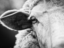 Users Track $100 Million in Stolen Bitcoin After Sheep Marketplace Hack